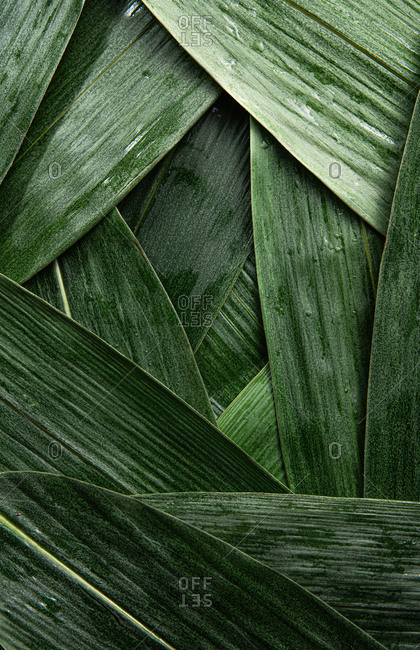 Close up of green reed leaves