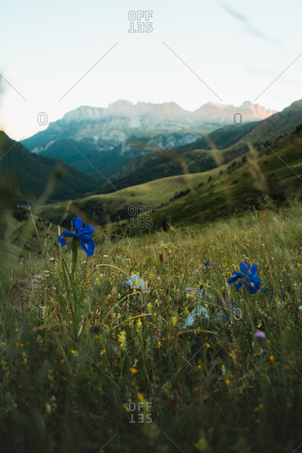 Colorful flowers at the bottom of the Hecho Valley in the Pyrenees, Spain