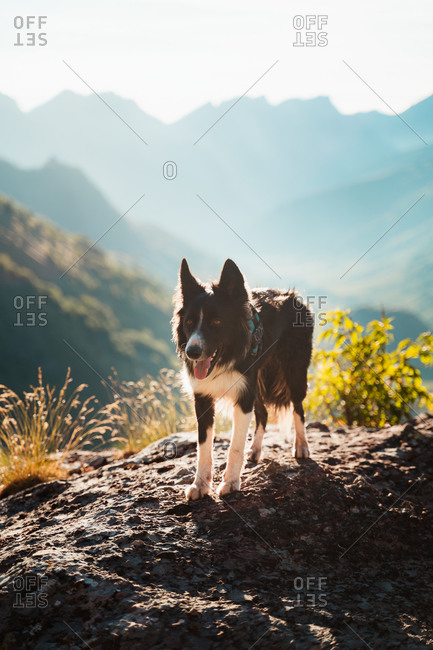 Beautiful shepherd dog on top of a rock in the mountains
