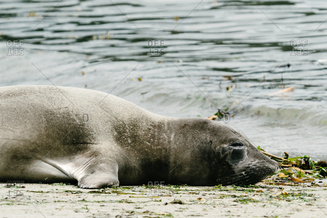 Seal resting on the seashore