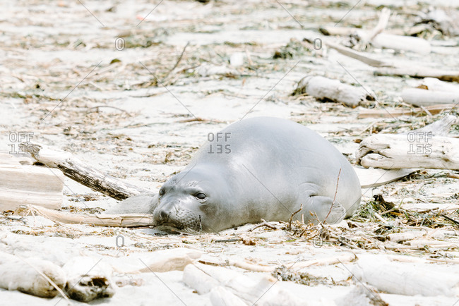 Seal lying on a sandy beach
