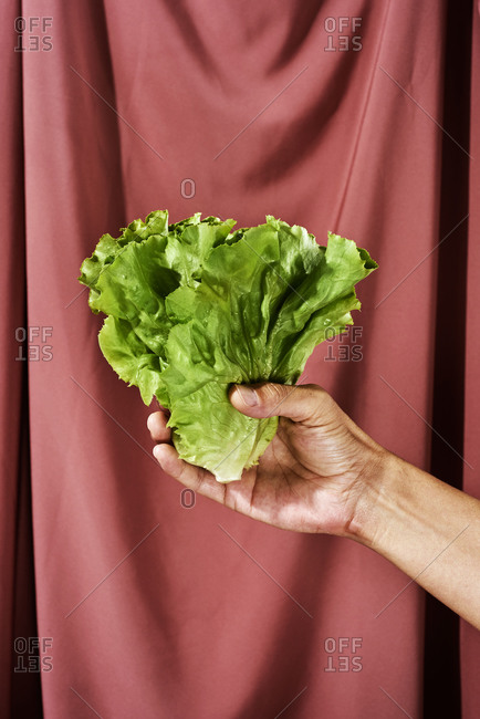 Closeup of a caucasian man with a lettuce in his hand, against a maroon draped fabric background
