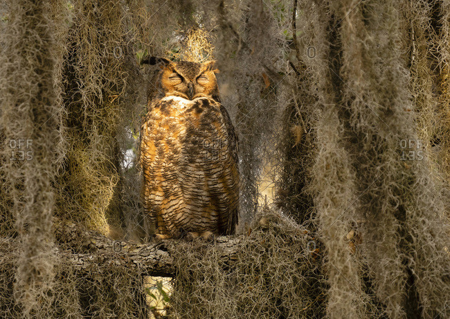 Great Horned Owl Sleeping in Tree Covered With Spanish Moss