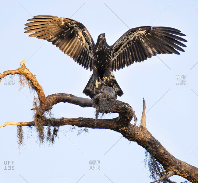 First Flight Fledgling Bald Eagle Wings Spread Wide Lands on Tree