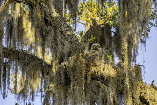 Juvenile Great Horned Owl Perched in Nest on Spanish Moss Covered Tree