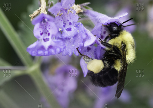 Bumble Bee Pollinates Cat Mint Flower Plant
