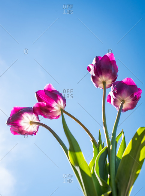 Low angle shot of bright pink tulip flowers against a blue sky.