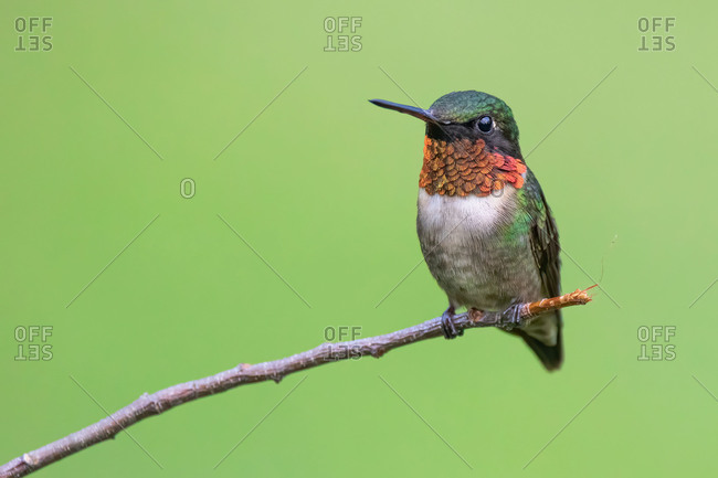 A Male Ruby-throated Hummingbird Perched