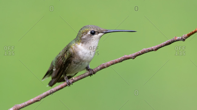 A Female Ruby-throated Hummingbird Perched on a Branch