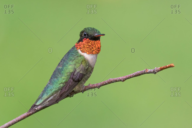 A Ruby-throated Hummingbird Perched on a Branch