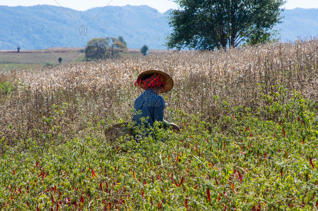 Local woman working in a pepper field