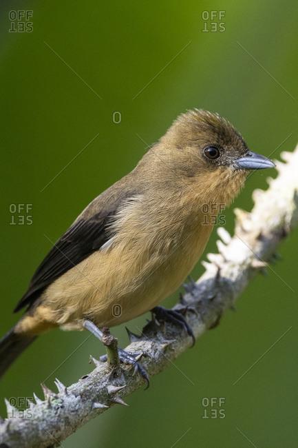 Beautiful brown rainforest bird on tree branch