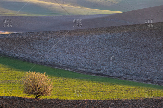 Single tree in green field in Turiec region, Slovakia.