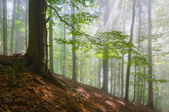 Sunlight shining through forest in Turiec region, Slovakia.
