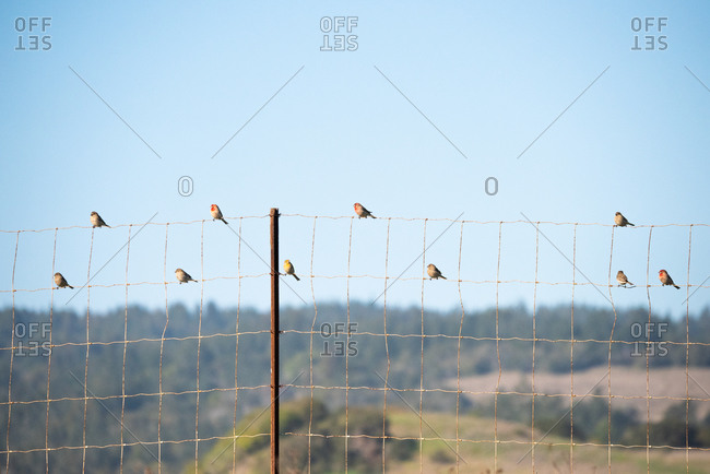 House Finches sit on a fence along a ranch in California