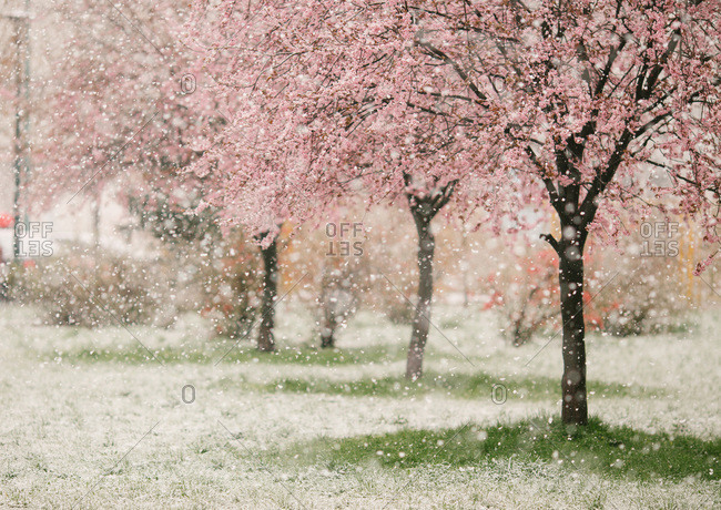 Snow falling on a spring blossom trees
