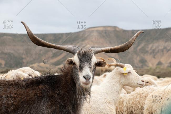 Big goat looking at the camera