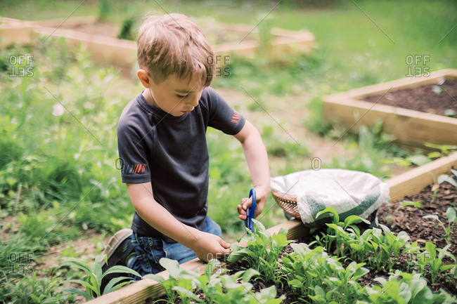 Little boy harvesting the spinach in the family garden