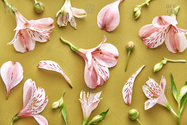 Lily of the Incas flower pattern on a colorful background. Top view