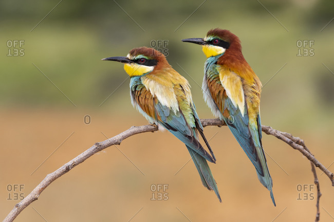 Two European bee eaters (Merops Apiaster) perched on a branch.