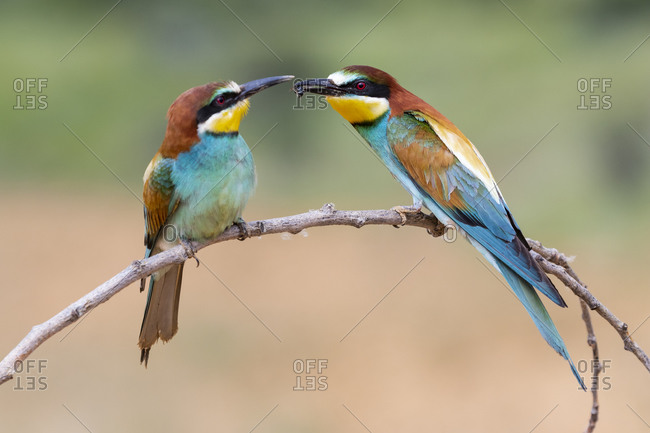 Two European bee eaters (Merops Apiaster) exchanging an insect as part of a mating ritual.