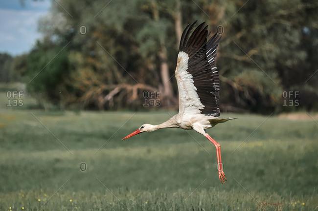 Dull stork flies over an empty field, village