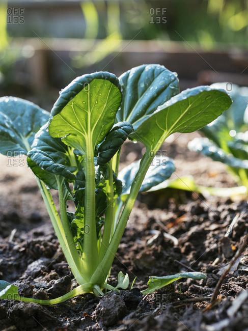 Tatsoi plants in a vegetable garden