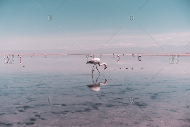 Flamingo searching for food in salt lagoon in Atacama Desert, Chile