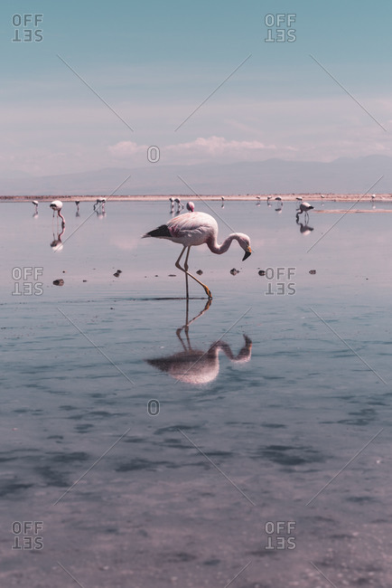 Tele Shot of flamingo wading through salt lake in Atacama Desert