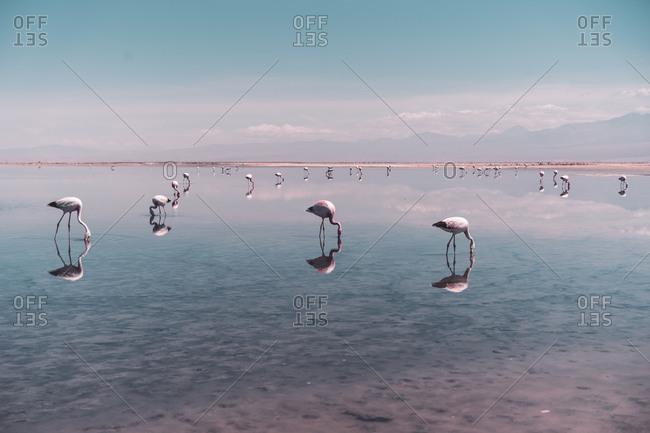 Group of Flamingos searching for food in salt lagoon in Atacama Desert