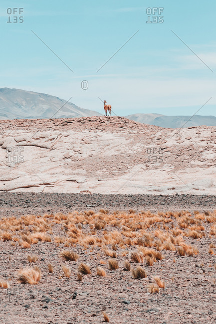 Guanaco on hill against blue sky in Chilean Atacama Desert