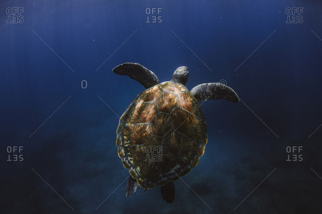 Sea turtle swimming in the Atlantic ocean