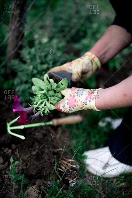 Gardener plants colorful herbs in garden soil.
