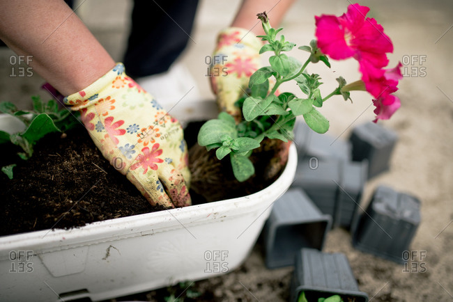 Gardener plants colorful herbs with protective gloves in garden soil.