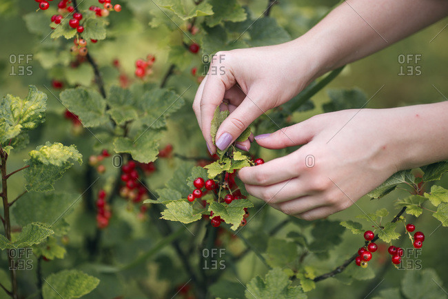 Woman picking red currants from the tree