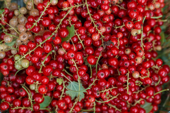 Close-up of fresh red currants
