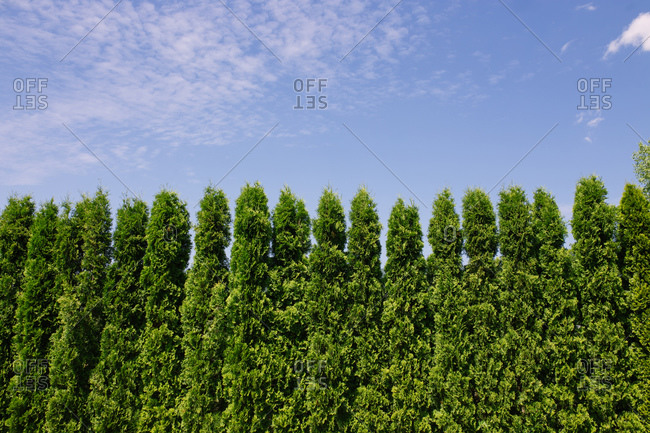 Tall green cypresses in line