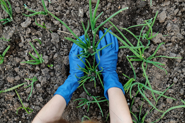 Woman in rubber mittens works in the garden with vegetables
