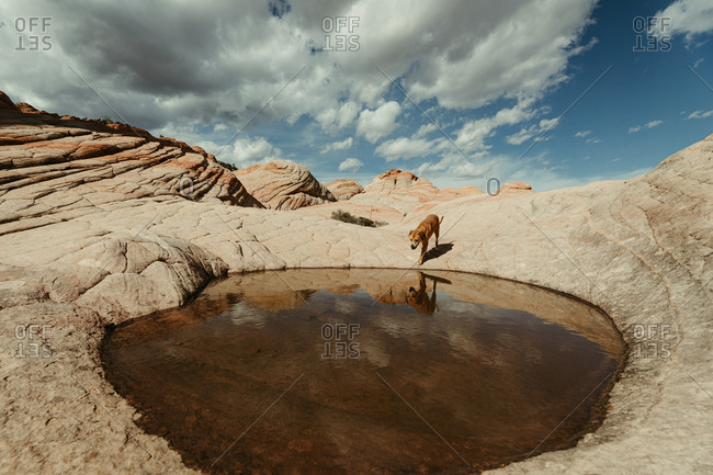 pitbull mix mutt dog walks to watery hole after a rain in the desert