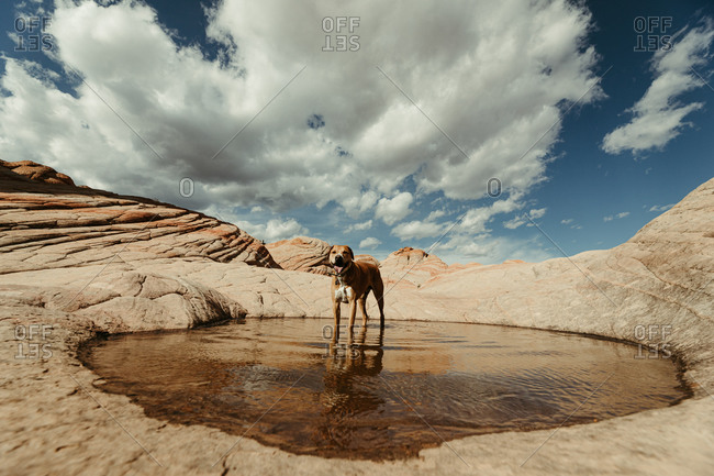 tired and thirsty dog wades in a pool of water in the desert red rock