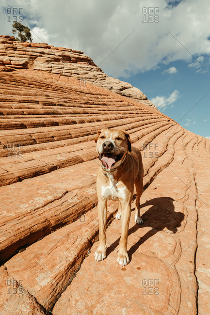 hot and tired pitbull mixed mutt dog stands on red rock in desert