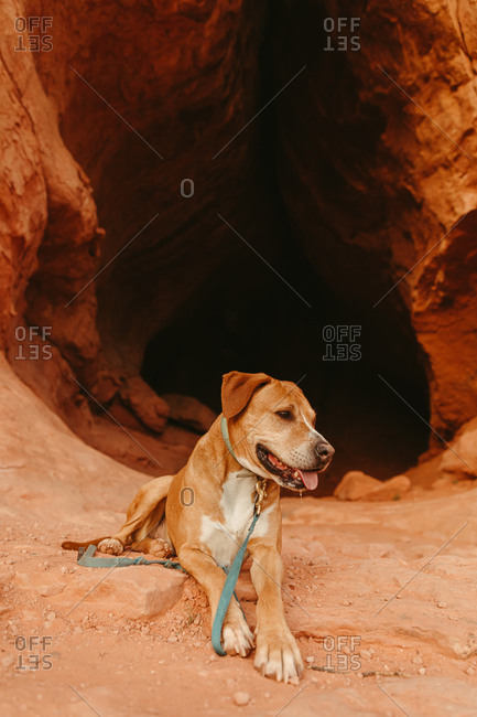 Tired and thirsty pit dog lies down outside of orange cave entrance