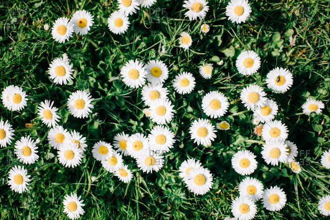 Sky view of grass filled with daisies on a sunny day