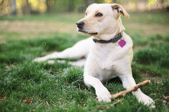Female mixed breed dog enjoying herself in a backyard with a chew toy