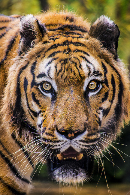 This is a tiger portrait. This menacing tiger have great orange eyes.