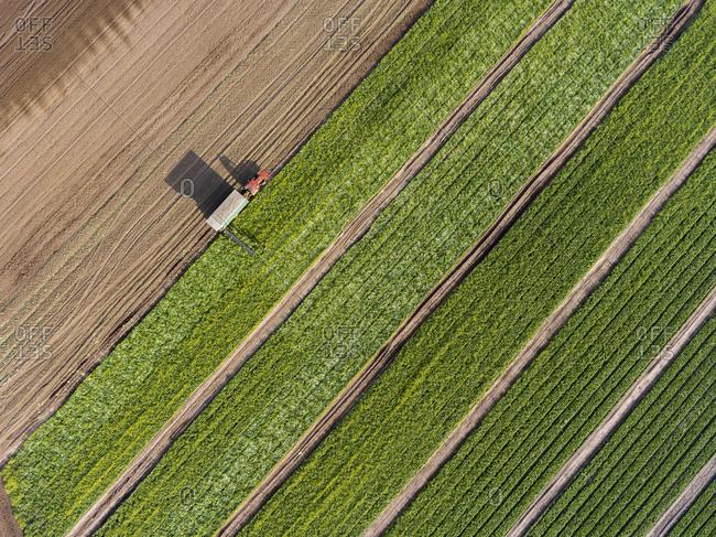 Bird's eye view of workers harvesting vegetables in a field