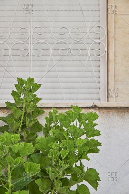 Green leafy plant in front of window, Lisbon, Portugal