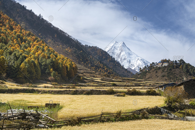 View of the Manaslu with autumn colored larches and fields