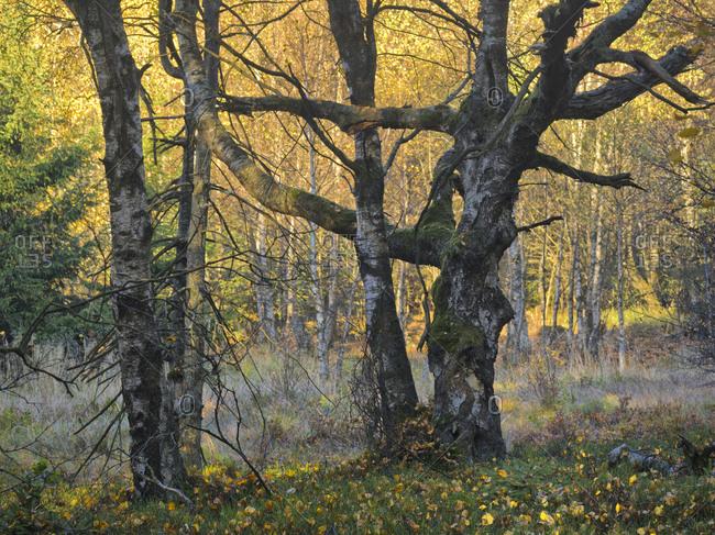 Europe, Germany, Hesse, UNESCO Rhon Biosphere Reserve, Rotes Moor nature reserve near Gersfeld, Carpathian birch forest in autumn leaves