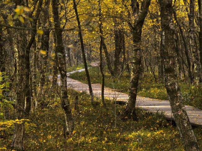 Europe, Germany, Hesse, UNESCO Rhon Biosphere Reserve, Rotes Moor nature reserve near Gersfeld, Carpathian birch forest in autumn leaves, Bohlenweg